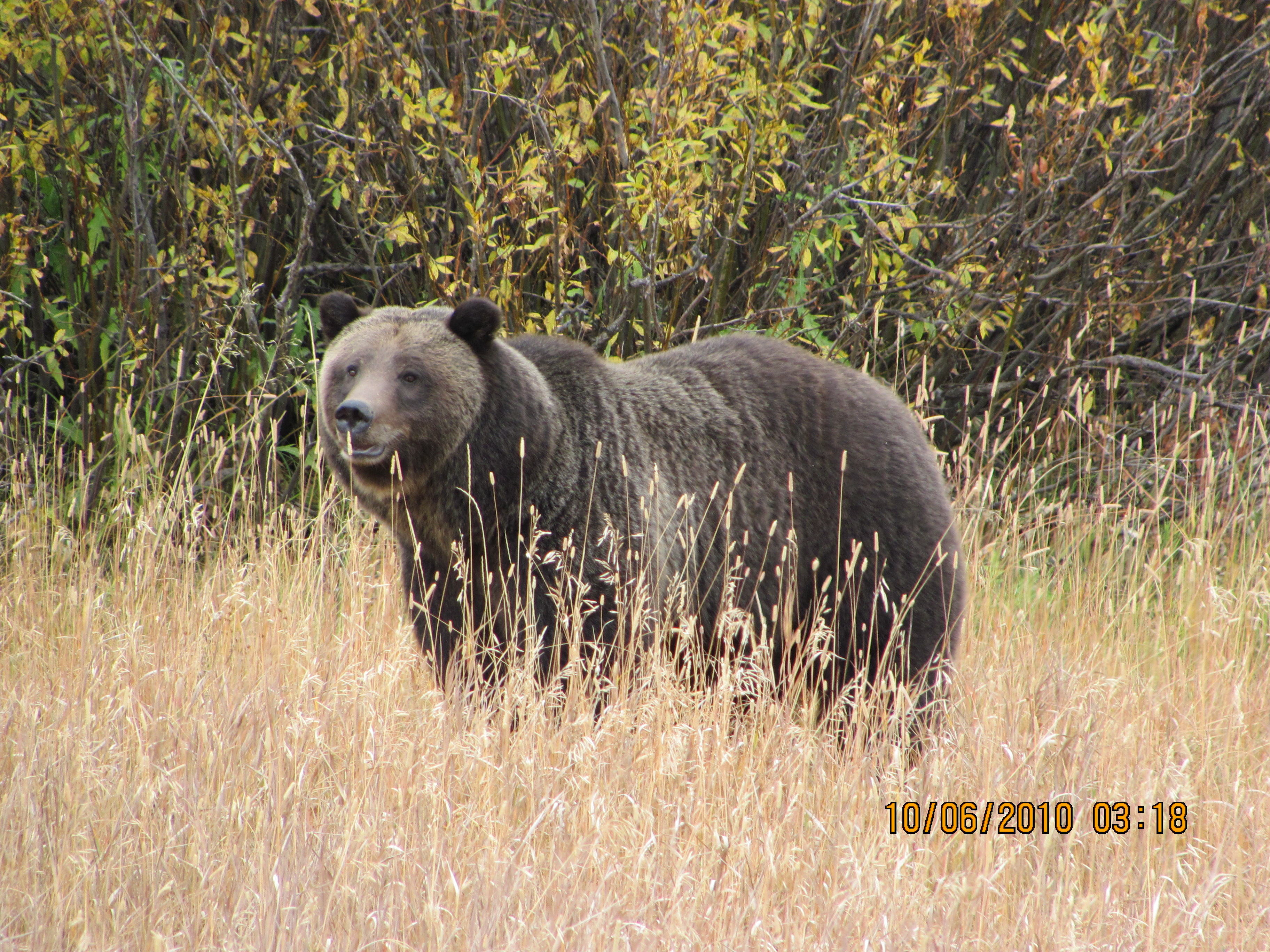 Grizzly Bear Encounters – Really!